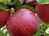 red-apples-jpg