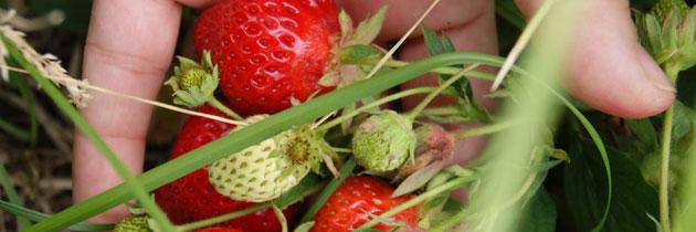 pyo-strawberries-1-jpg