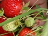 pyo-strawberries-1-jpg