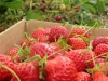 pyo-strawberries-3-jpg
