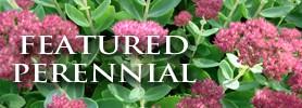 Featured Perennial: Sedum Autumn Joy