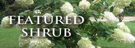 Featured Shrub: PeeGee Hydrangea