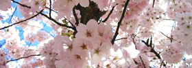 featuredhomepage-cherryblossoms
