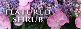 Featured Shrub: Twist and Shout Hydrangea