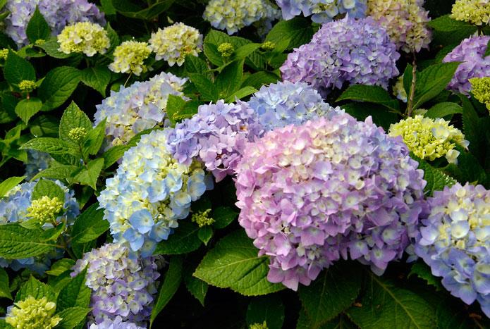 Caring for hydrangeas rogers spring hill garden center - Caring hydrangea garden ...