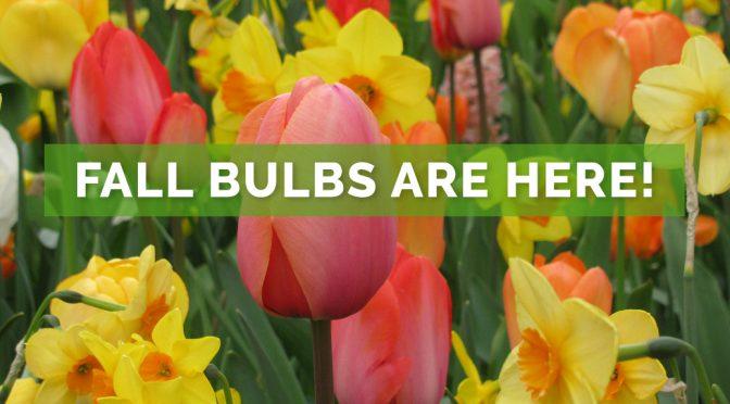 Fall Bulbs