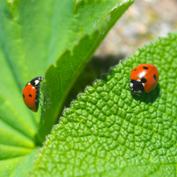 aphids_2