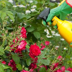 Spraying the roses
